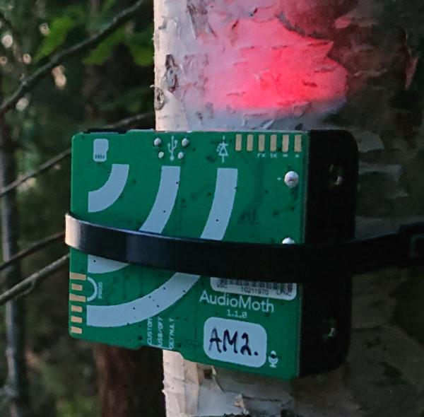 AudioMoth kiinnitettynä puun kylkeen